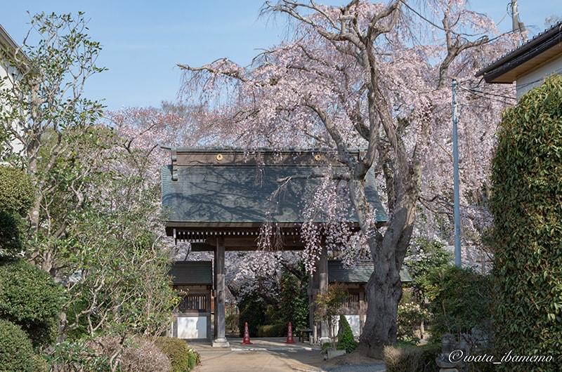 神宮寺の桜