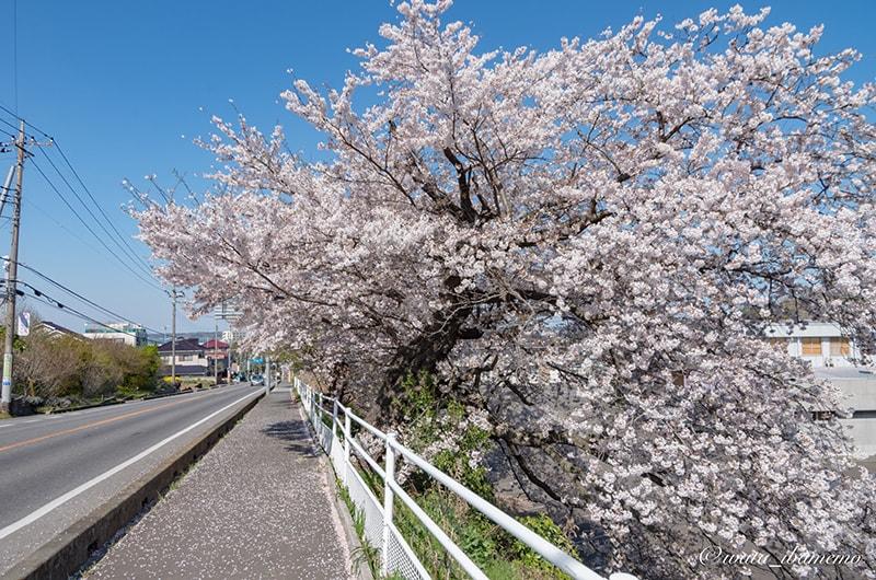 旧海軍道路と桜