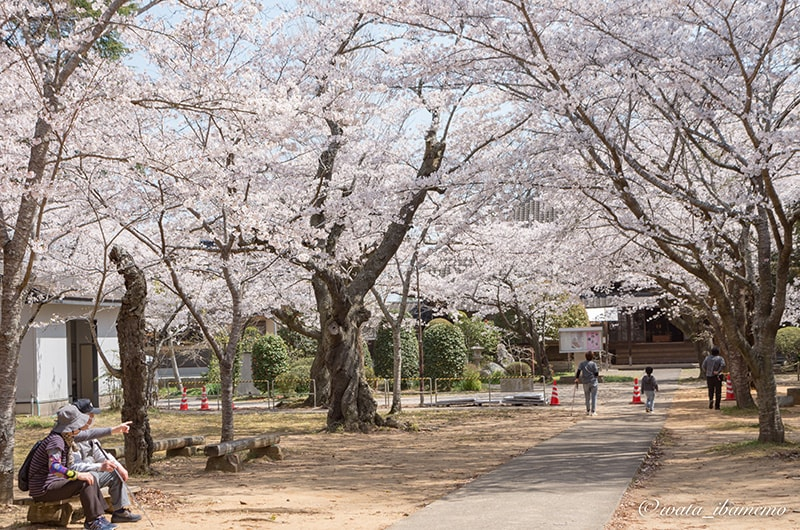 桜いっぱいの西蓮寺の参道