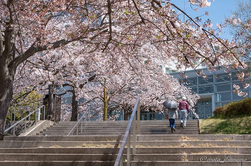 利根町役場の桜