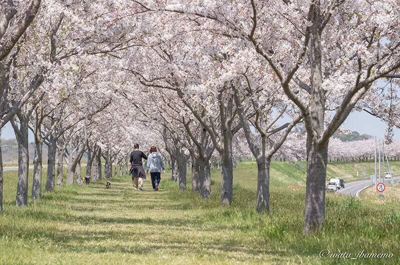 絶景の桜並木