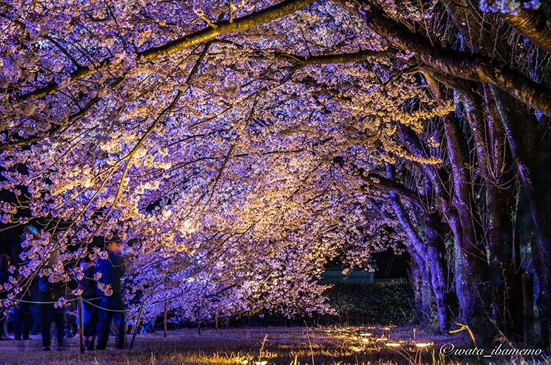 桜の根本からもライトアップ
