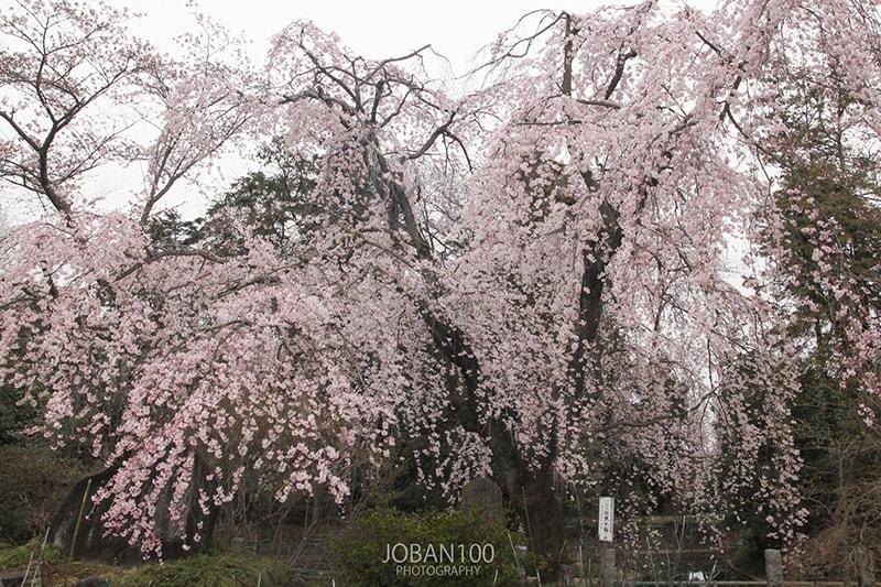 境香取神社のしだれ桜(撮影:常磐百景)
