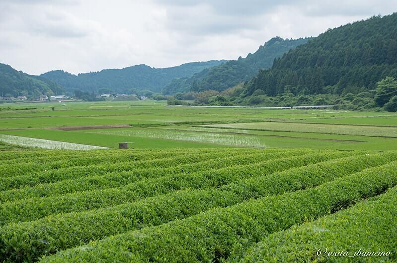 古内の茶畑