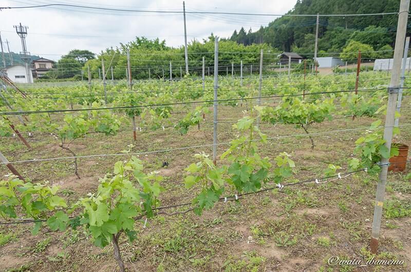 ワイン用のブドウ畑
