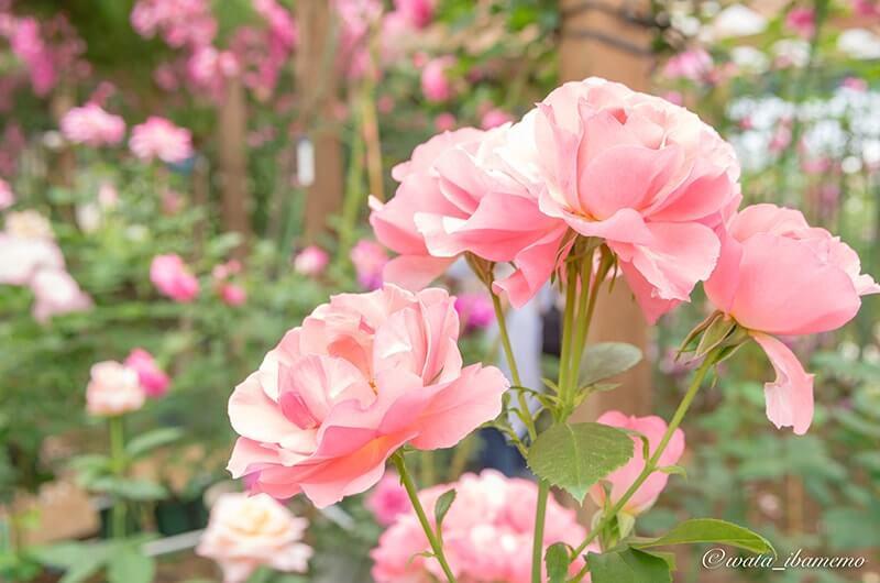 ハウス栽培のバラ