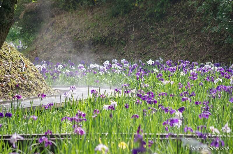 水蒸気のあがる花しょうぶ園