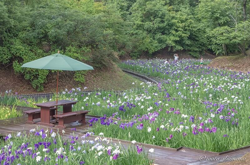 雨上がりの花しょうぶ園