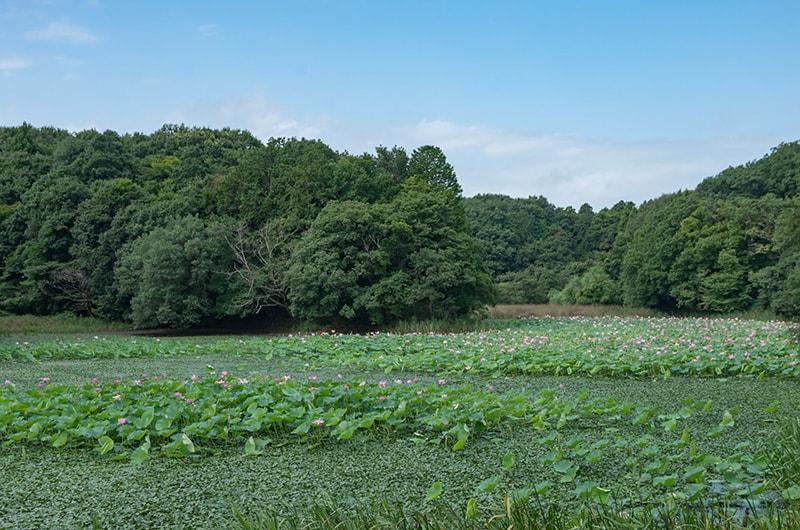 池全体を覆うハス