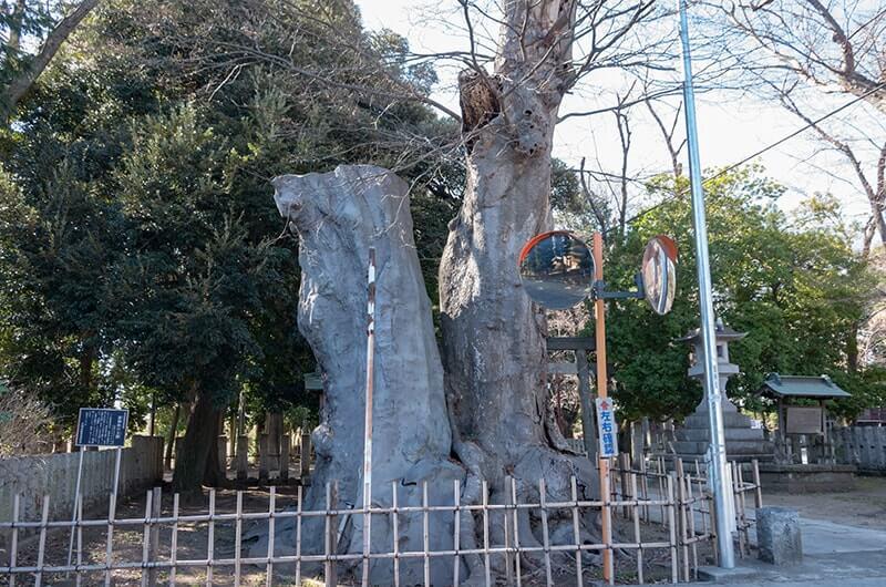 御神木の夫婦欅