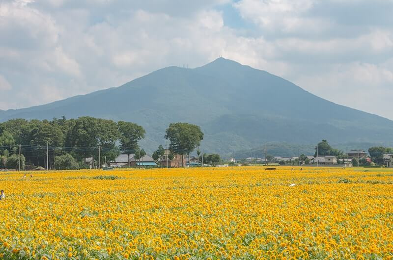 筑波山と八重ひまわり