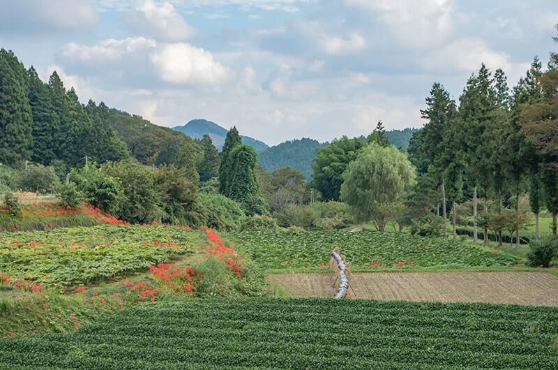 奥久慈茶畑と彼岸花