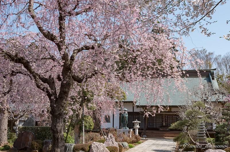本堂としだれ桜