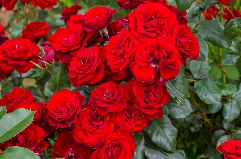バラは約80種
