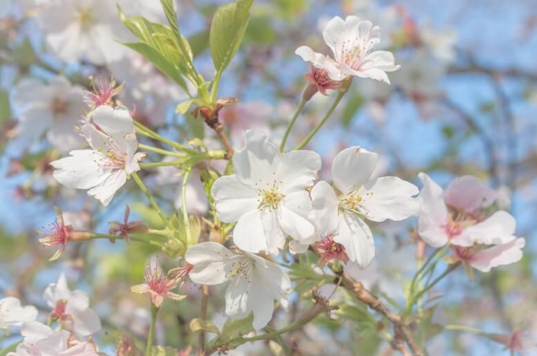 桜(緑葉)