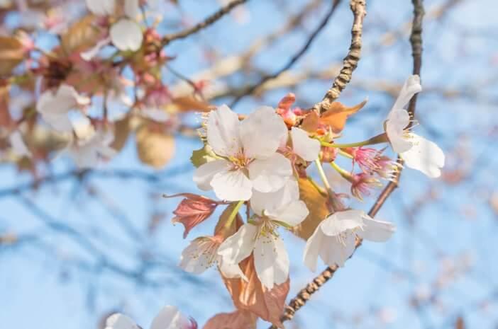 桜(赤い葉)