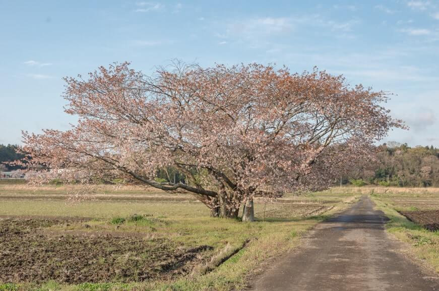 新治の井の桜
