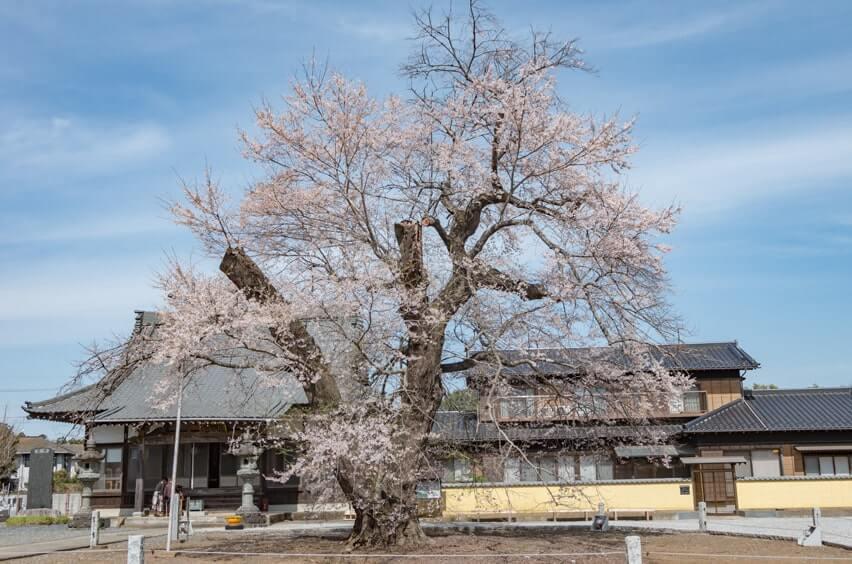 満開の江戸彼岸桜(2020年3月21日撮影)