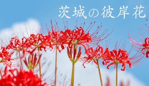 【県民が選ぶ】茨城の彼岸花おすすめベスト5!【観覧無料】
