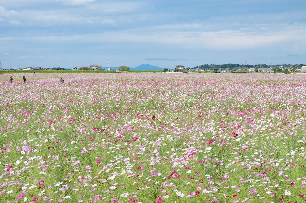 上戸のコスモス畑