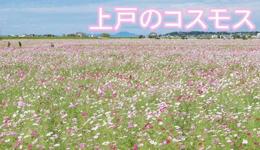 上戸のコスモス畑と彼岸花(潮来市)