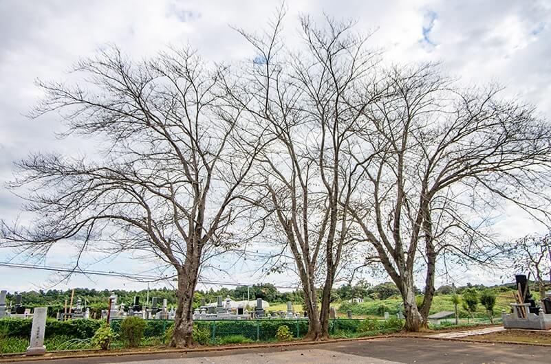 駐車場の三本桜
