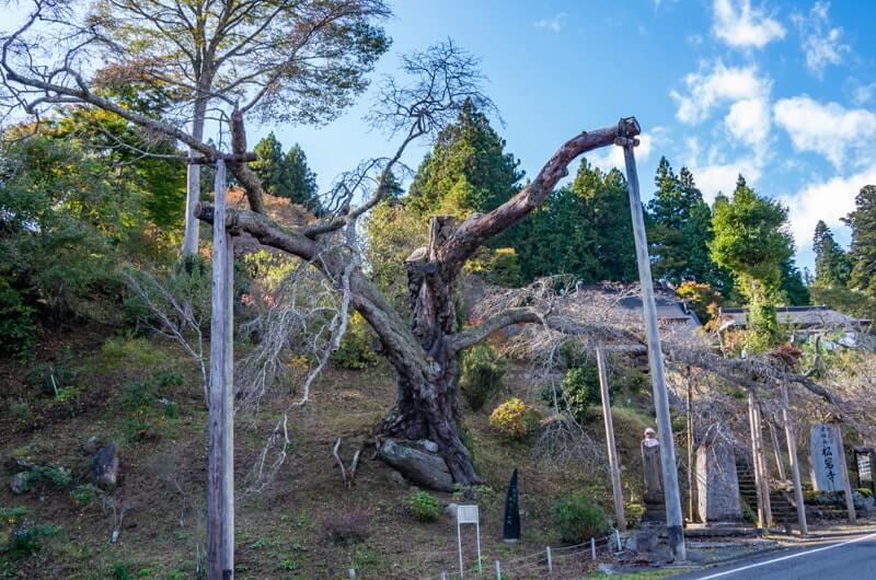 山門前の山桜(県指定天然記念物)
