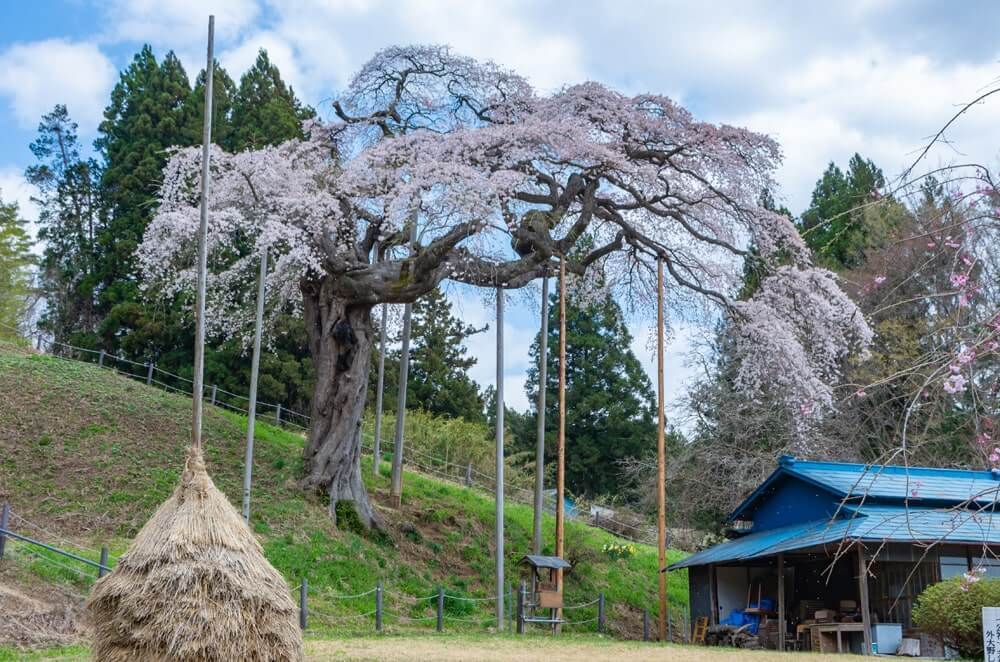 わらぼっちと桜