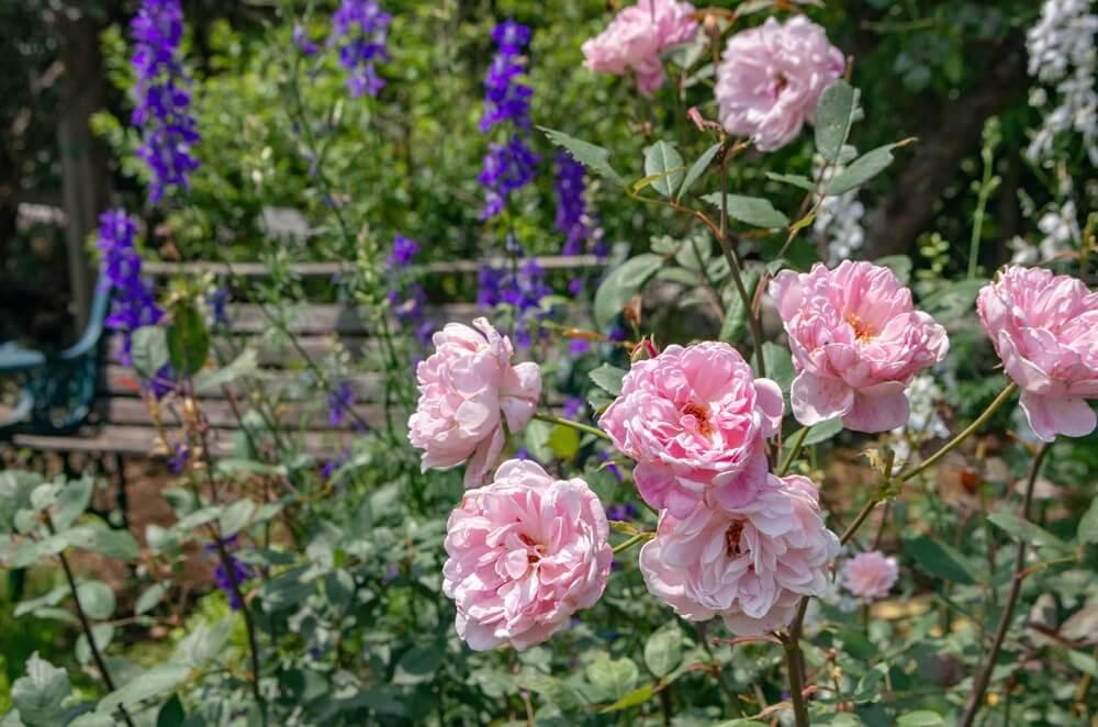 遅咲きのバラたち