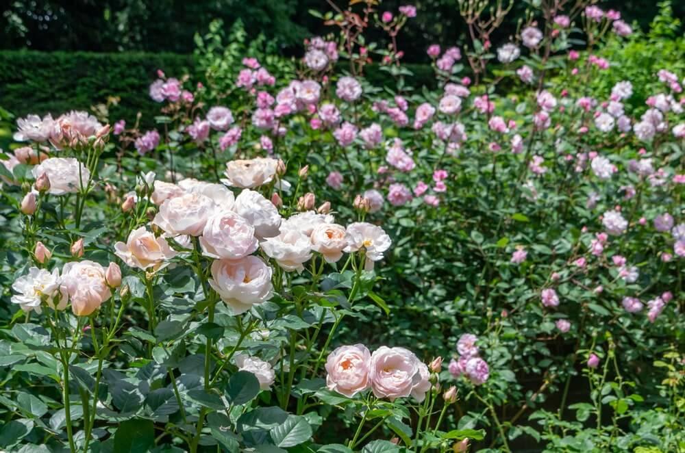 自然に植えられたイングリッシュ・ローズ