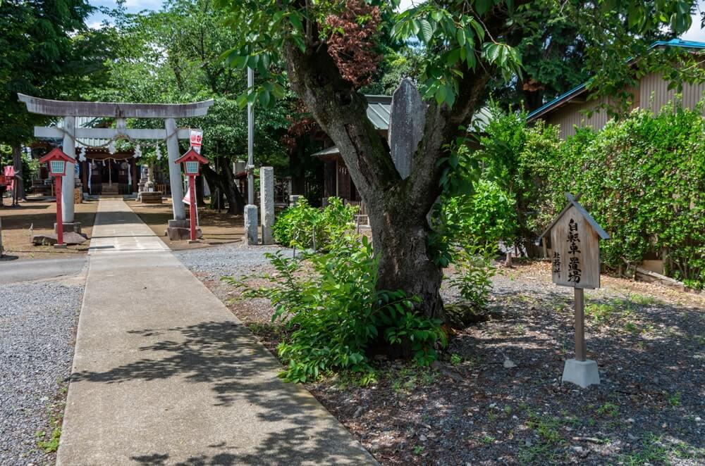ソメイヨシノの並木と自転車置き場