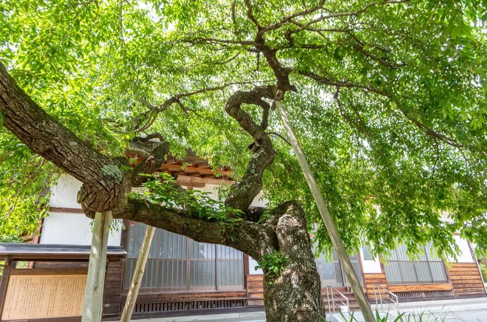 枝を支えられている枝垂れ桜